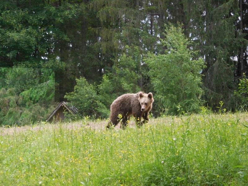 Székelyföld büszkesége, a medve