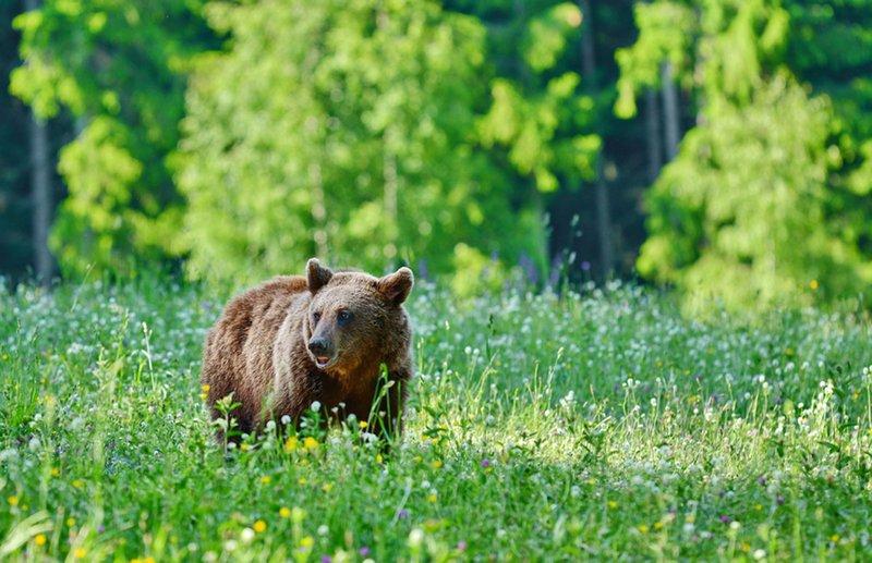 Medve jár Árkoson